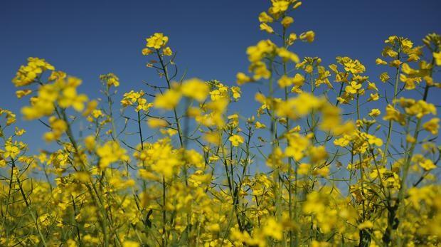 pollen_cape-times